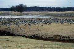 Tranor vid Hornborgasjön